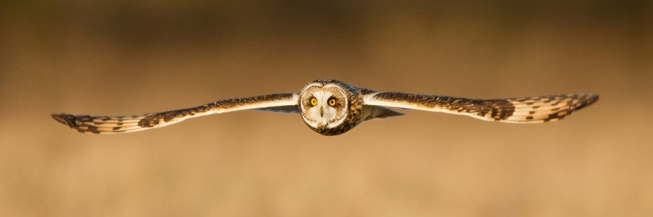 one from my short-eared owl series
