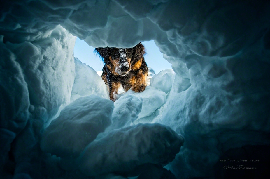 Hovawart Coraggio in training for avalanche rescuedog.  from the view of a buried person.