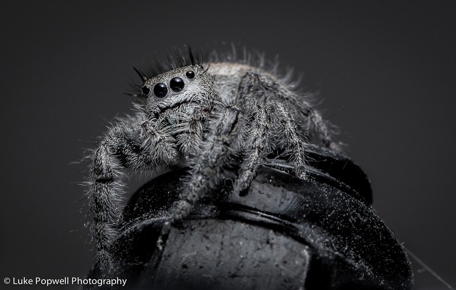 hairy jumping spider looking for prey sitting on a metal nut