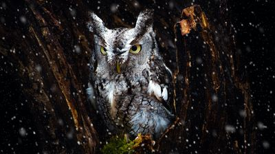 Screech Owl in the Snow