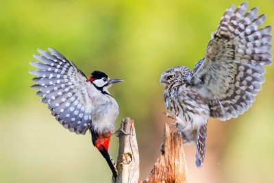 Owl and a Woodpecker