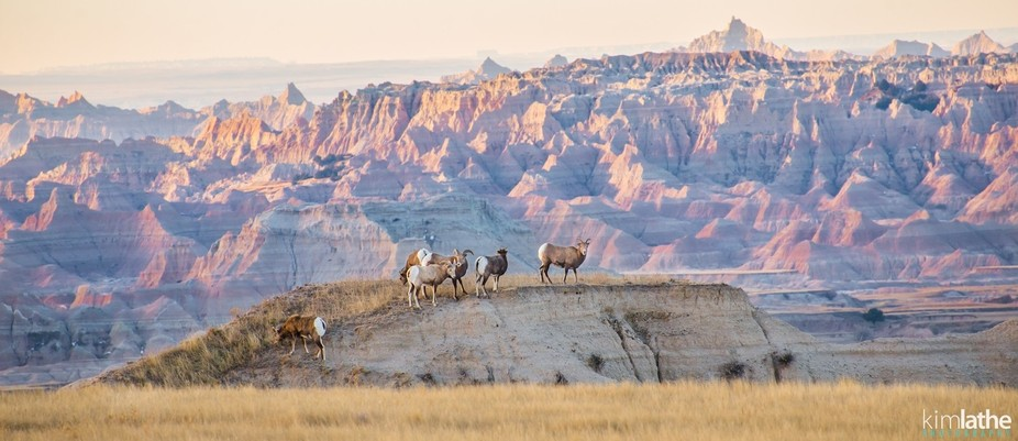 Some Bighorn sheep on a ridge as the sun rises in Badlands National Park.