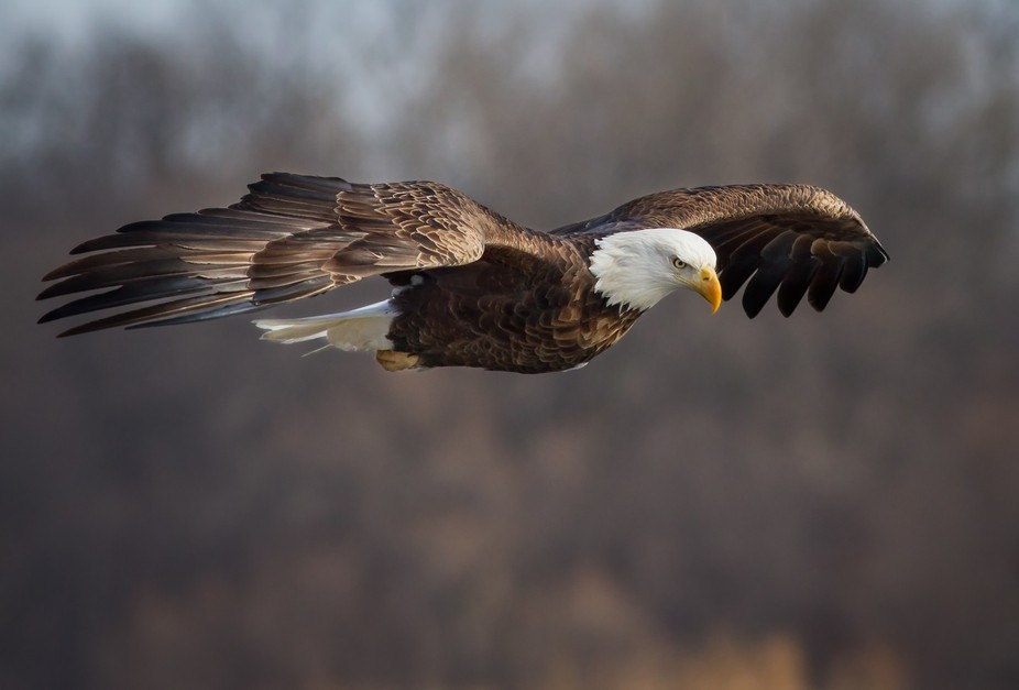 A closer look into the glare of an American Bald Eagle will reveal a look of intensity that deman...