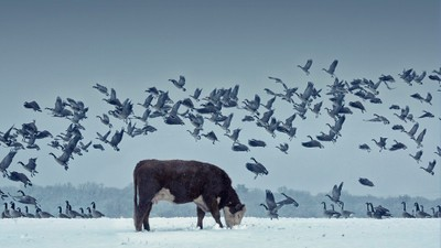 Cows and birds Print 1