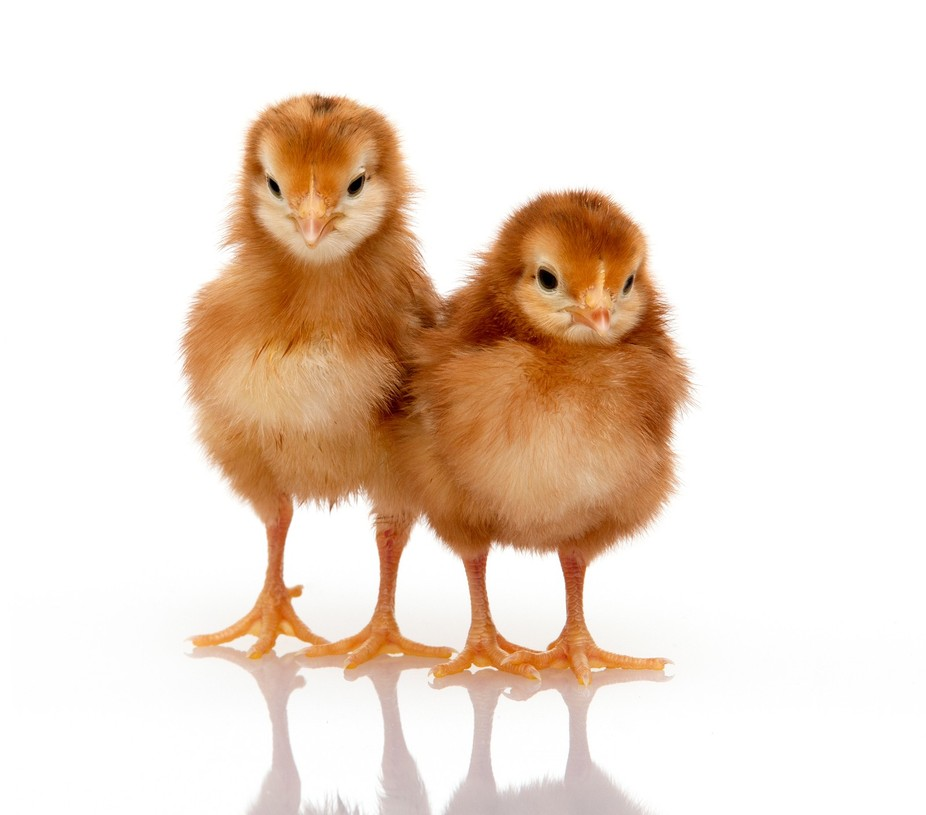 We have chickens at our home, for eggs, and we had just received these little ones.  I decided I ...