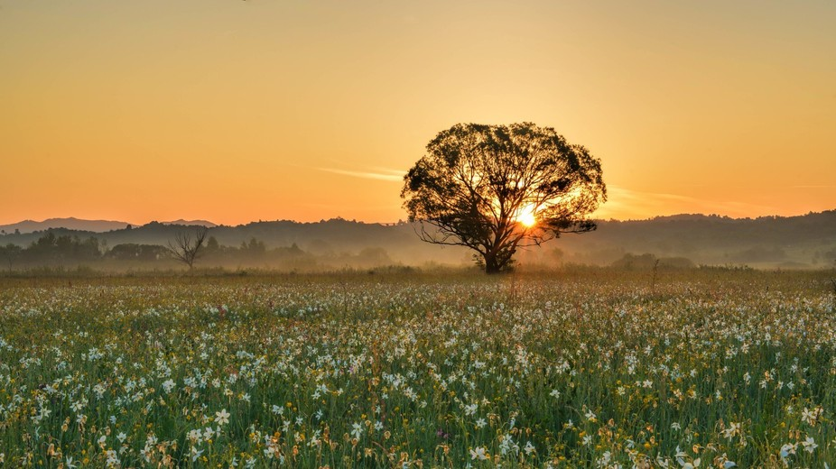 Sunrise in the in the Valley of Daffodils (Transcarpathia, Ukraine)