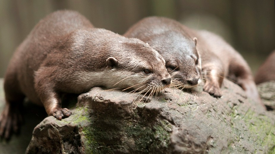 A happy Couple of contend Otters photographed at the Singapore zoo.