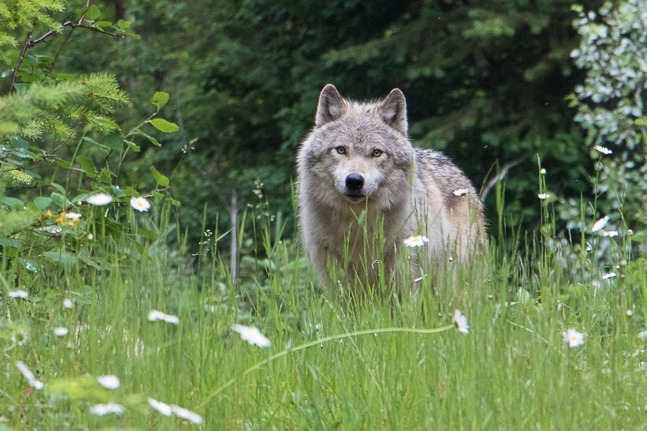 Wolf photo walk with wolves from the Northern Lights Wildlife Sanctuary - wolf interpretive cente...