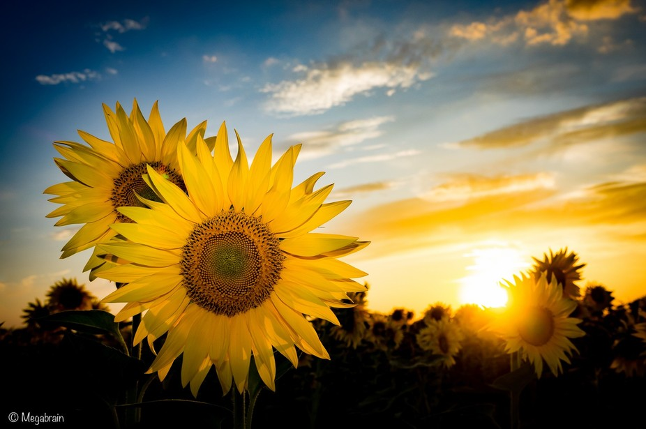 It\'s time for sunflowers!