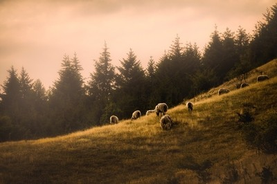 Sheeps on hill
