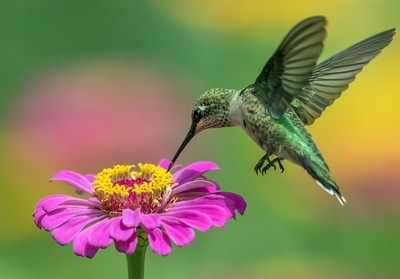 Ruby-throated hummingbird and garden zinnia