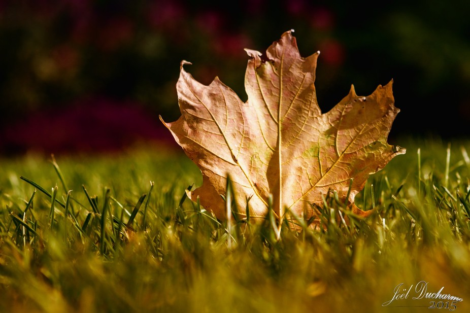 Maple leaf in automn.