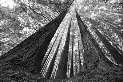 Aire Valley , Californian Redwoods