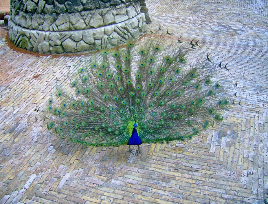 One of the peacocks from the 'Pfaueninsel' in Berlin