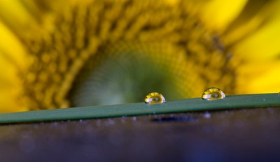 Sunflower Water Drops