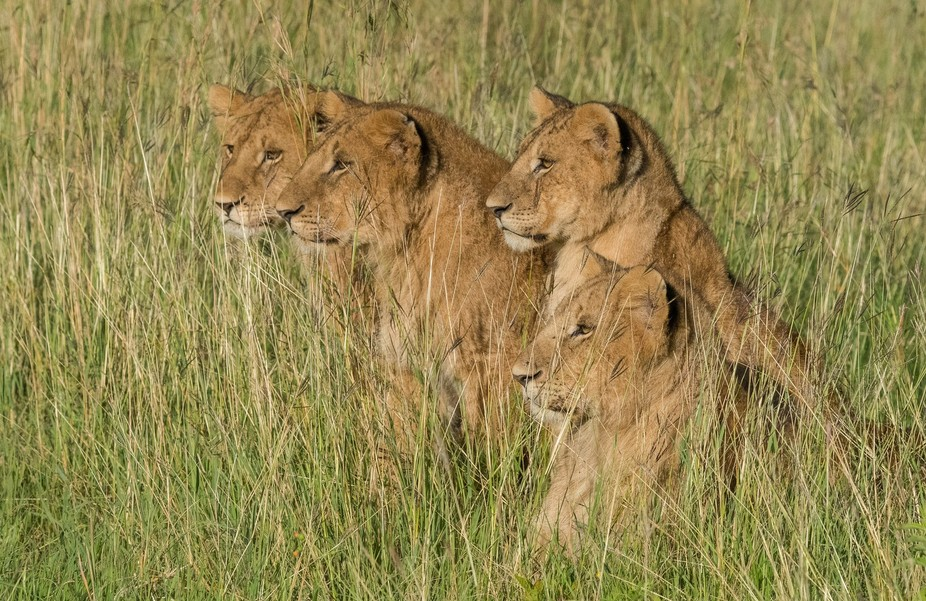 These four lion cubs stared eagerly at the cape buffalo nearby ready to hunt down dinner. Their l...