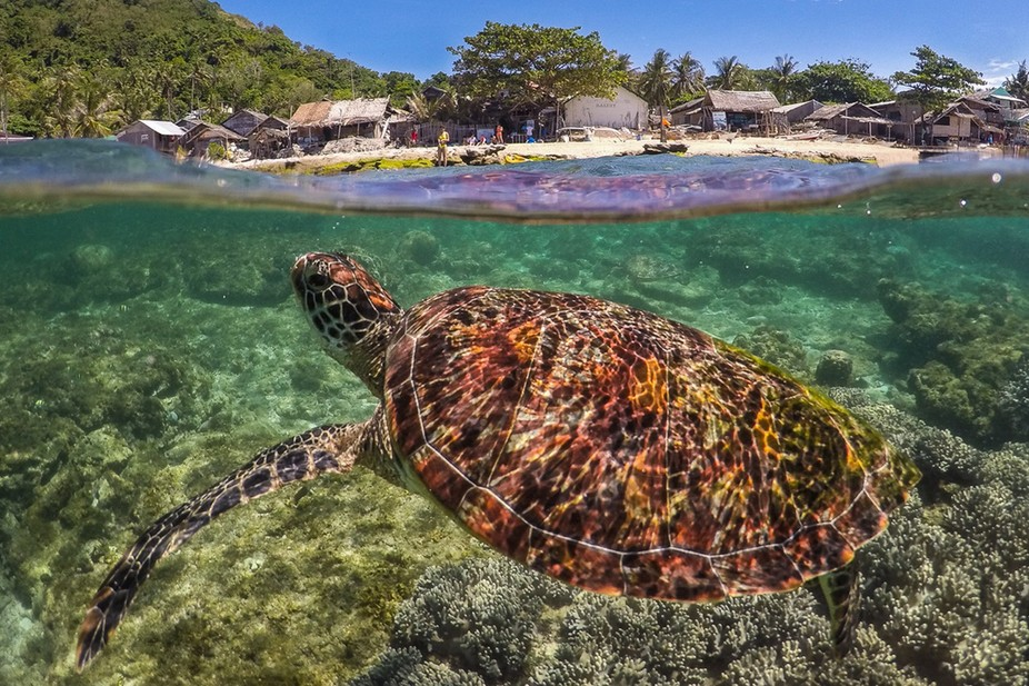 Swimming with the turtles at Apo Island in the Philippines