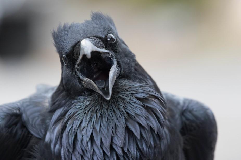 I was getting gas at a station in yellowstone, when this raven sacheted across the lot courting m...
