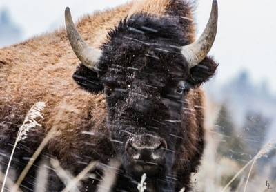 Great American Bison 7