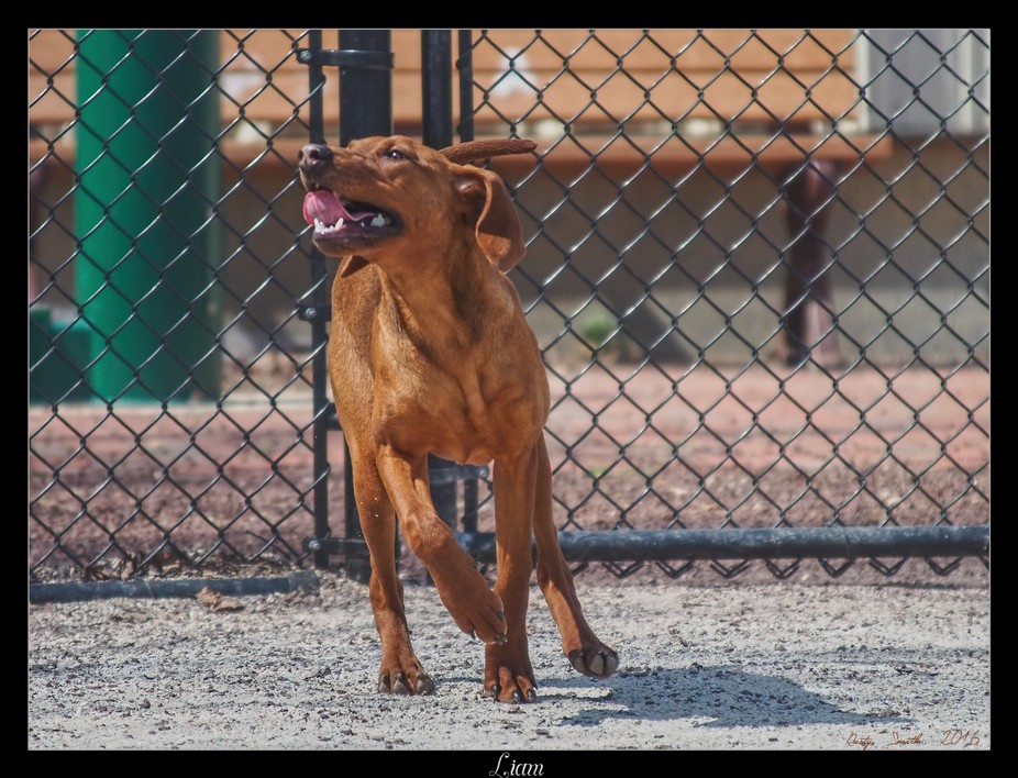 6 month old Coonhound, Redbone/Purebred available for adoption at the Pennsylvania SPCA shelter i...