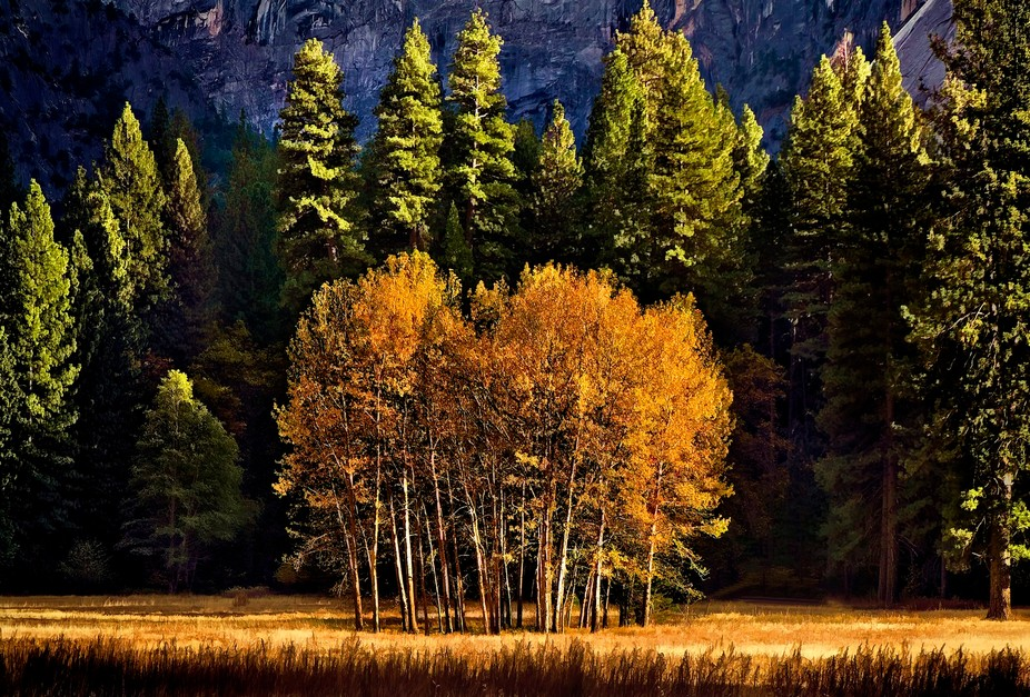 Natures own painting at Yosemite Valley. Fall season magically turns greenery to golden yellow. T...