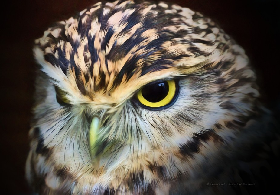 Jack the burrowing owl (Athene cunicularia) at Leeds Castle