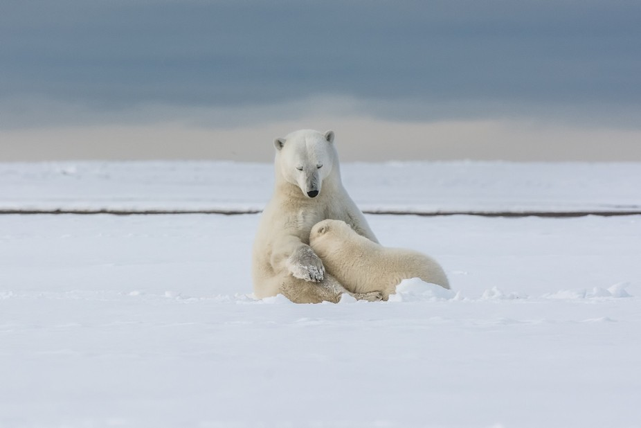 This polar bear mother gently holds her cub as he nurses
