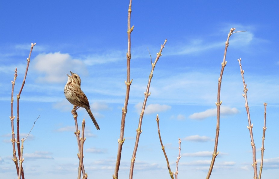 Song Sparrow on territory in early spring.