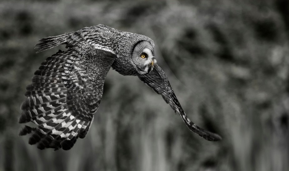 Great grey bw