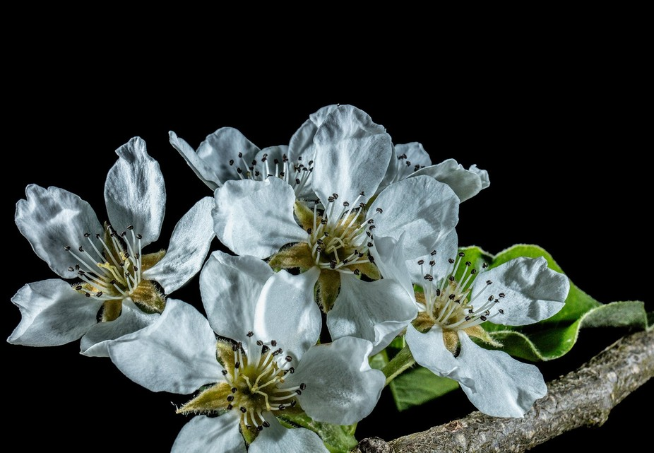 A close up of a pear tree´s flower. I must admit, i do not know what sort i is, but beautiful.