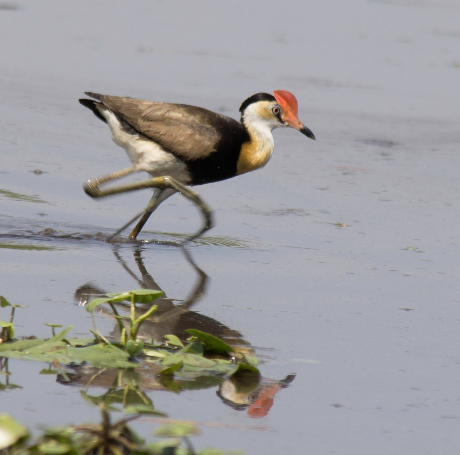 These birds have huge feet which enables them to walk around on the water lillys' fonds.
