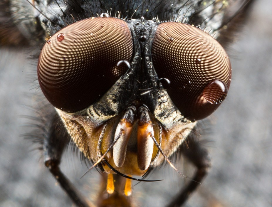 Fly with water in it's eye