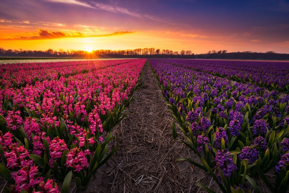 Hyacinths in the early spring of this year in the Netherlands accompanied with a beatyfull golden...