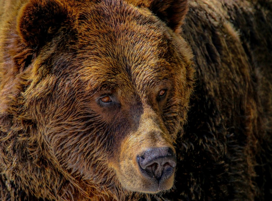 grizzly eyes