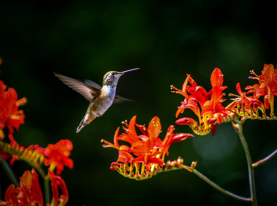 This little hummingbird came and went one day and I spent many hours trying to capture it. Finall...