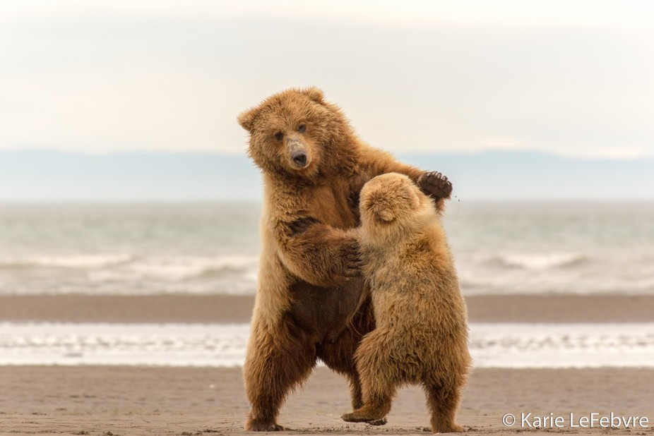 """This mom and cub began to """"Waltz"""" after perusing for clams along the shore of L..."""