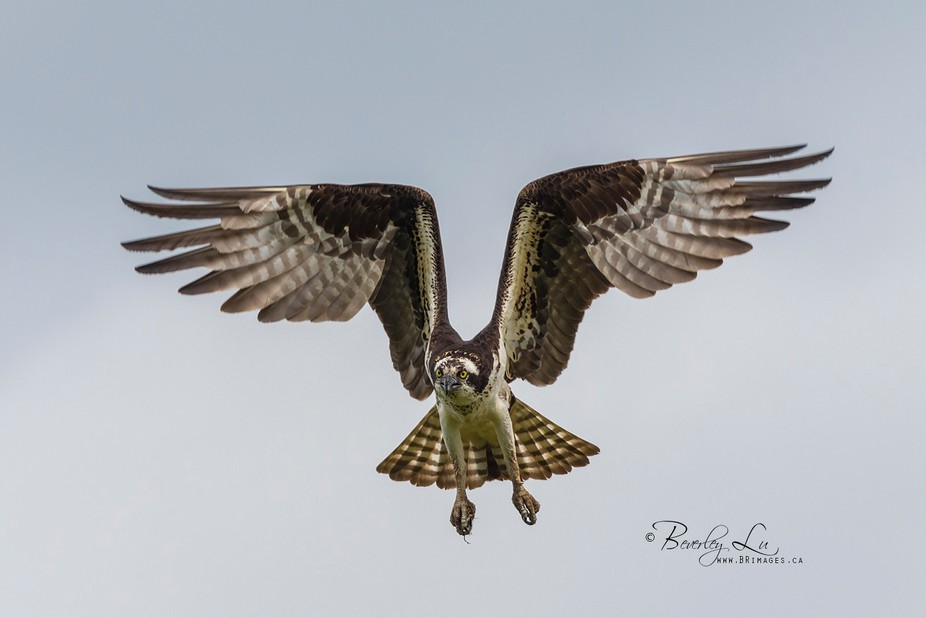 Osprey coming in for a landing in Grand Barachois, New Brunswick, Canada.
