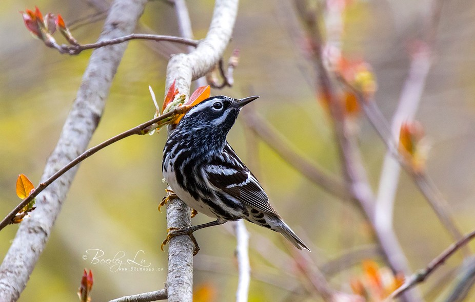 Black & White Warbler posing for his picture :)