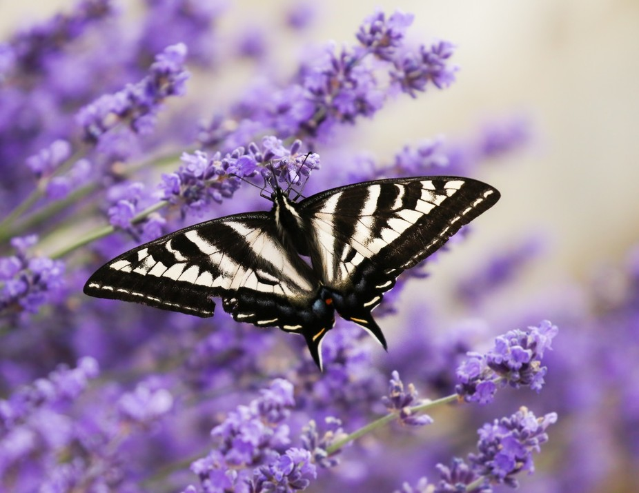Swallowtail Butterfly and Lavender