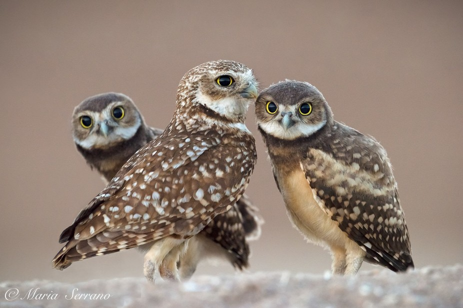 Mama and two of her eight owlets hang out by their burrow in Salton Sea.