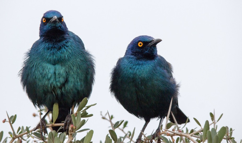 Glossy starlings in Addo Elephant National Park