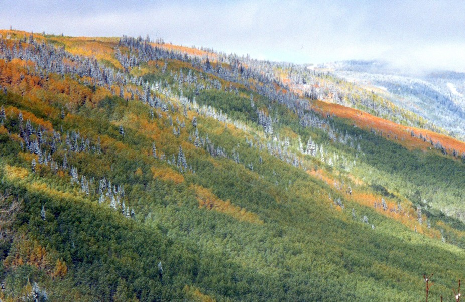 First snowfall in late autumn, on the North-facing slope of Grand Mesa in western Colorado.