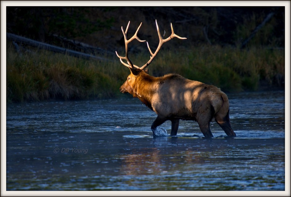 Light from the rising sun paints a bull elk as he follows his harem of cows to the far bank of th...