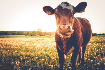 Happy cow on the meadow in the sun