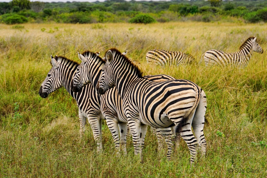 Zebras - Phinda Private Game Reserve  South Africa. A zebra is a species of wild horse that lives...