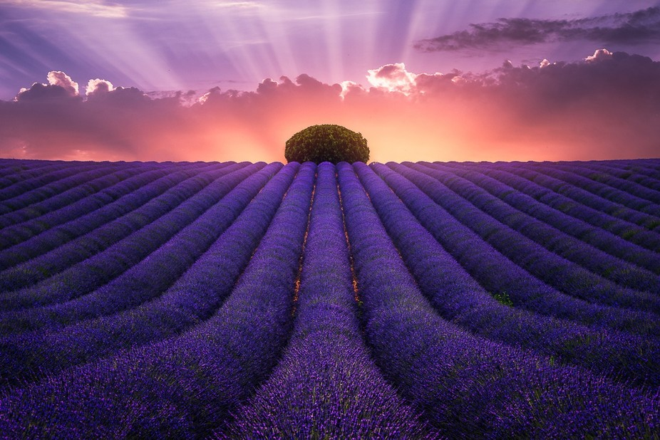 A lavender field in Valensole (South of France)