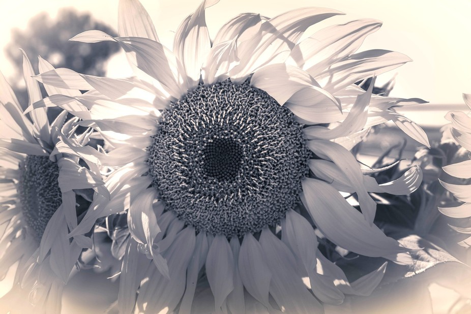 I took this photo at our neighborhood PeaPatch at the end of the summer when the Sunflowers were ...