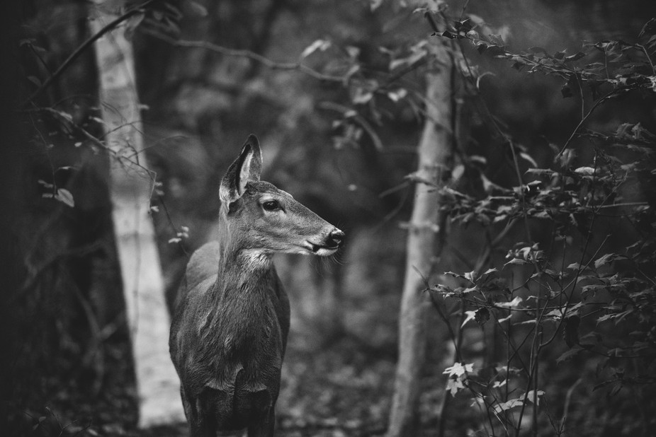 This doe let me follow her through the woods, and promptly posed for me in the woods for a good 2...