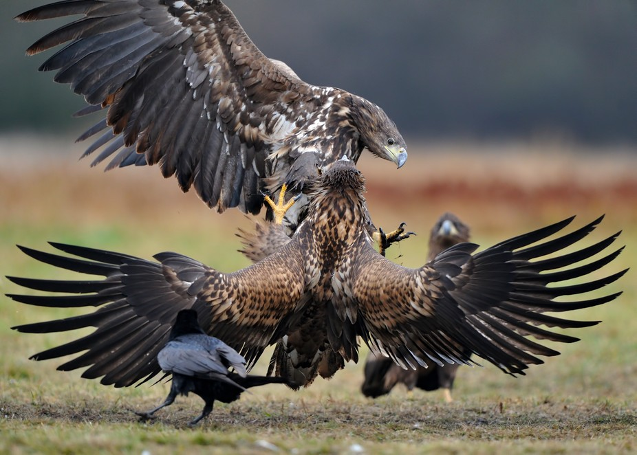 White-tailed eagle, cosy conversation