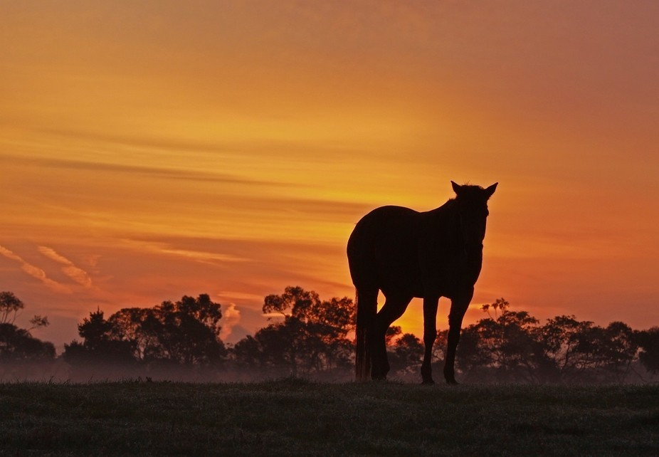 One of my old mares waits for sunrise on a misty winter morn.  She no longer stands, but lies qui...